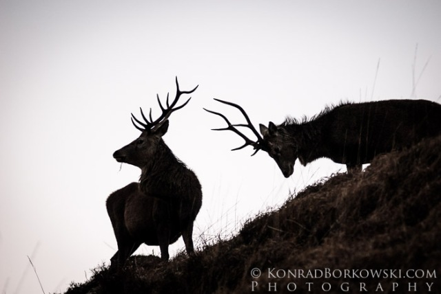 Two rutting deer, Isle of Jura
