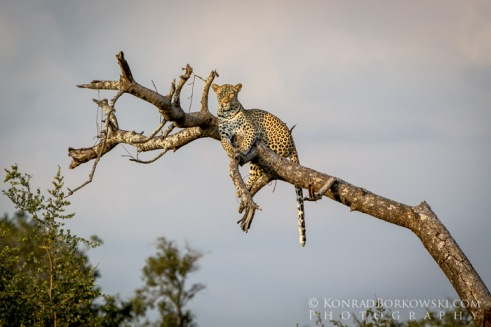 Leopard sitting on a tree, Kruger National Park , South Africa