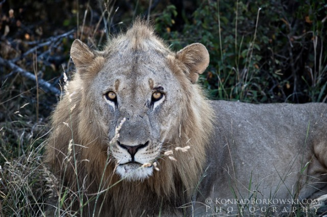 Resting Lion, Hluhluwe Imfolozi, South Africa