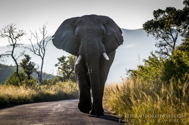 Elephant blocking the road in Hluhluwe – Imfolozi National Park, South Africa